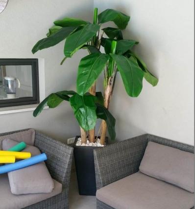 עץ בננה  3 פיצולים 2.10 מטר