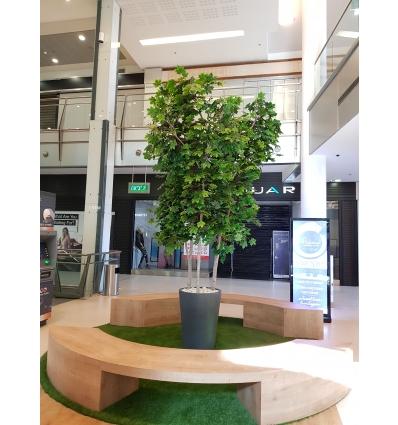 עץ מייפל ירוק 4 מטר