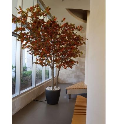 עץ מייפל מגוון 4 מטר