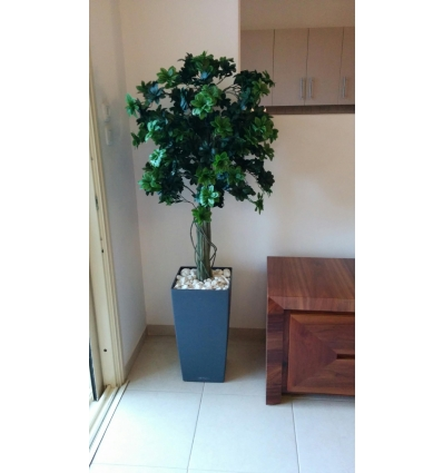 עץ פיטוספורום מבית סחלבים