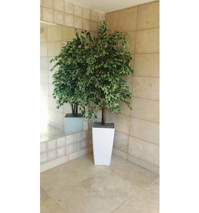 עץ פיקוס בנימיני גולד