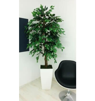 עץ פיקוס בנימיני ירוק 180