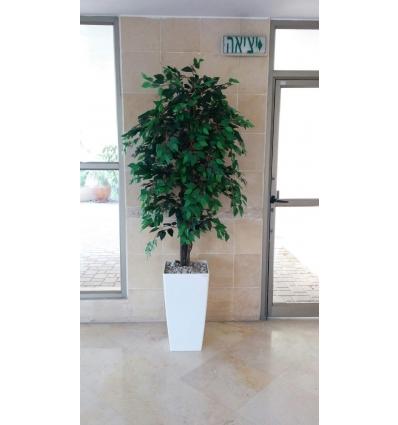 עץ פיקוס בנימיני ירוק