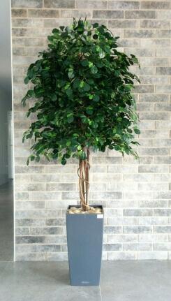 עץ שיננטוס במבצע