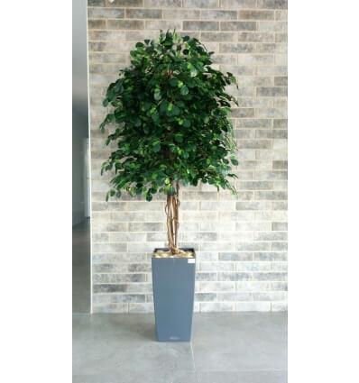עץ שיננטוס ירוק עלים
