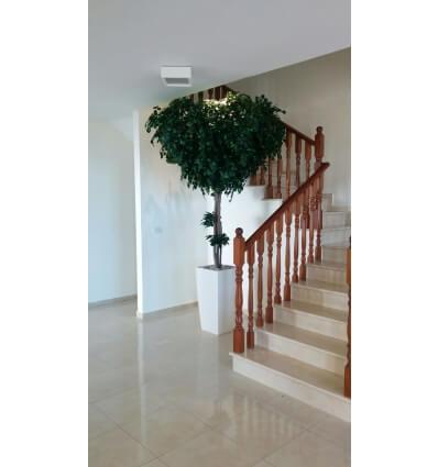 עץ שיננטוס 3.00 מטר